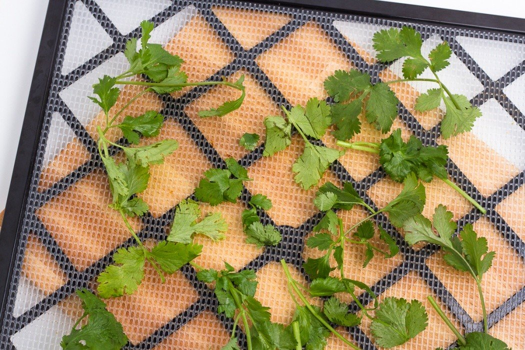 cilantro spread on a dehydrator tray